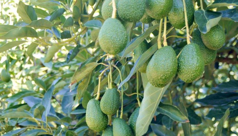 avocado_bay_of_plenty-1